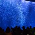 【バックヤードツアー開催水槽】黒潮大水槽 マイワシのトルネード