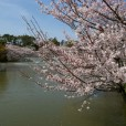 名城公園桜