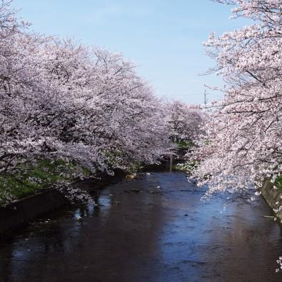 尾張「七大桜」巡り!春を愛でるバスツアー2017メインイメージ