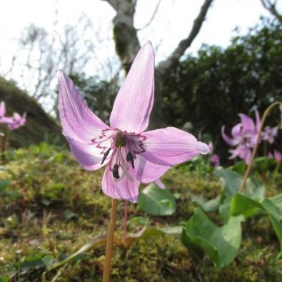 春を感じる旅♪第二弾~もみじもいいけど…三河足助の初春の花名所メインイメージ