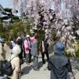 黄梅院の桜案内