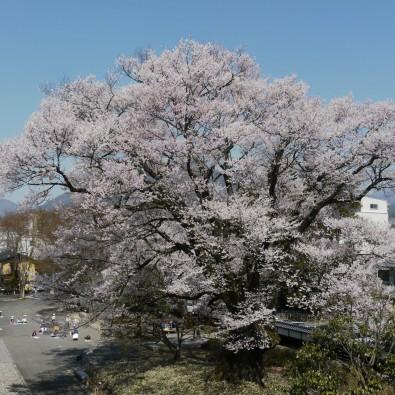 南信州 名桜を訪ねて~桜案内人と行く桜守の旅~メインイメージ