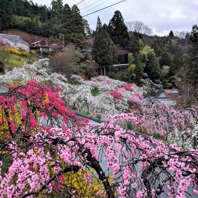 知る人ぞ知るしだれ桃回廊~秘境で感じる春の訪れ~メインイメージ