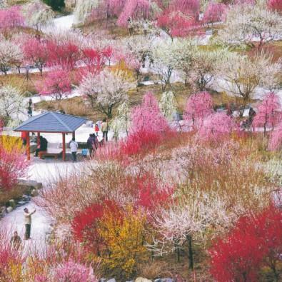 1度は見てみたい絶景!そこはまさに桃源郷!ピンクと白の梅じゅうたん!いなべ農業公園としだれ梅が咲き誇る鈴鹿の森公園メインイメージ