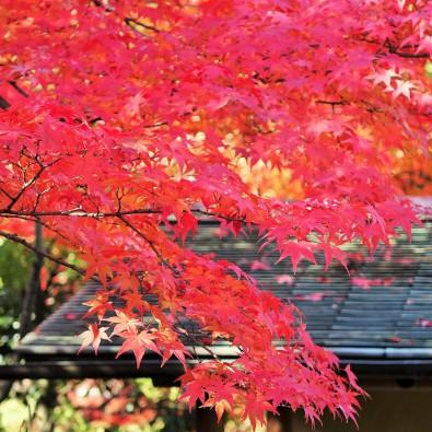 ガイド付きでめぐる 紅く染まる白鳥庭園と料亭賀城園メインイメージ