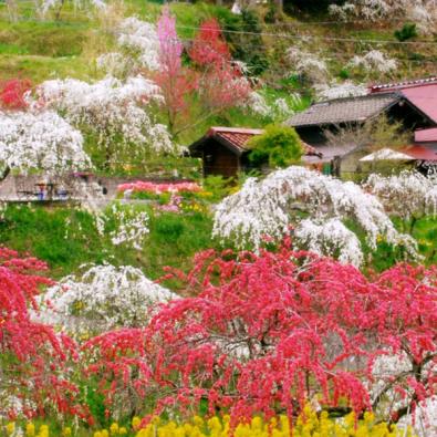 知られざる桃源郷!3000本のしだれ桃と1万株のユキヤナギが咲き誇る豊田花めぐりメインイメージ